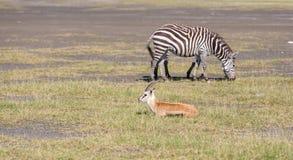 Антилопа и зебра на предпосылке травы Стоковая Фотография