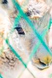 Антилопа младенца тибетская стоковая фотография rf