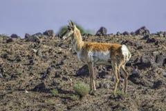 Антилопа на скалистой земле Стоковое Фото