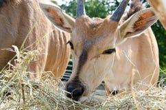 Антилопа - общее eland Стоковые Изображения