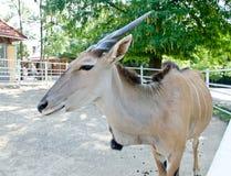 Антилопа - общее eland Стоковые Изображения RF