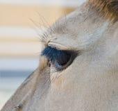 Антилопа - общий глаз eland Стоковая Фотография