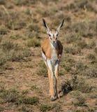 Антилопа прыгуна Стоковая Фотография