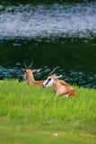 Антилопа прыгуна Стоковые Изображения