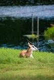 Антилопа прыгуна Стоковые Изображения RF