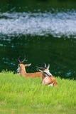 Антилопа прыгуна Стоковые Фотографии RF