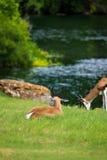 Антилопа прыгуна Стоковая Фотография RF