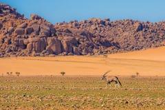 Антилопа сернобыка в национальном парке Namib-Naukluft, Намибии Стоковая Фотография RF
