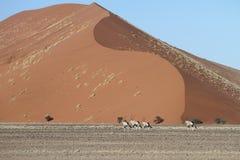 Антилопа сернобыка (сернобык), Sossusvlei, Намибия Стоковое Изображение RF
