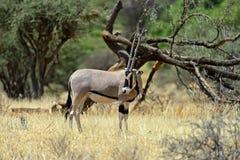 Антилопа сернобыка Стоковое Изображение