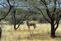 Антилопа сернобыка Стоковое Фото