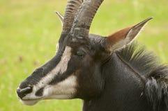 Антилопа соболя Стоковая Фотография RF