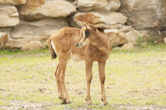 Антилопа соболя Стоковое Фото