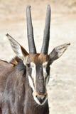 Антилопа соболя (Hippotragus Нигер) Стоковая Фотография