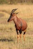 Антилопа тропического шлема Стоковое Фото