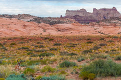 Антилопа Юты Pronghorn американская - Antilocapra Американа Стоковое фото RF