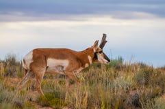 Антилопа Юты Pronghorn американская - Antilocapra Американа Стоковые Фотографии RF