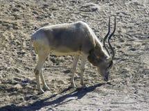 антилопа Стоковые Фотографии RF
