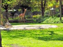 Антилопа Gerenuk Стоковая Фотография