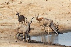 Антилопа Kudu выпивая на тинном waterhole Стоковое фото RF