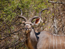 Антилопа Kudu Стоковое фото RF