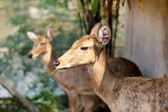 Антилопа Steenbok в одичалом Стоковое Изображение RF