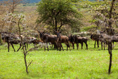 Антилопы антилопы гну в национальном парке Maasai Mara саванны, Стоковые Фотографии RF