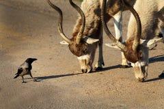 Антилопы аддакса белые и ворона диалог Стоковые Фотографии RF
