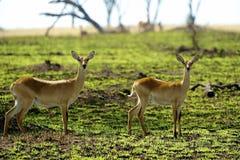 2 антилопы в Африке Стоковые Изображения RF