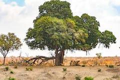 Антилопы в национальном парке Kruger, Южной Африке Стоковые Изображения RF