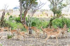 Антилопы в национальном парке Kruger, Южной Африке Стоковое Фото