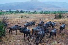 Антилопы гну в природе, национальном парке Pilanesberg, Южной Африке Стоковое Изображение RF