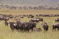 Антилопы гну пася в национальном парке Serengeti в Танзании, Восточной Африке Стоковое фото RF