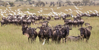 Антилопы гну пася в национальном парке Serengeti в Танзании, Восточной Африке Стоковое Изображение RF