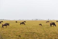 Антилопы гну пася в саванне на Африке Стоковое фото RF