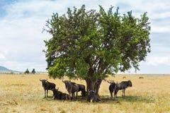 Антилопы гну пася в саванне на Африке Стоковые Изображения RF