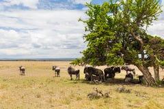 Антилопы гну пася в саванне на Африке Стоковая Фотография RF