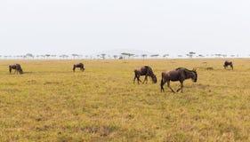 Антилопы гну пася в саванне на Африке Стоковая Фотография