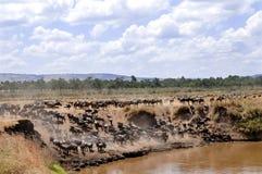 Антилопы гну Mara Masai Стоковая Фотография RF