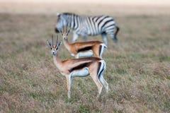 Антилопы и зебра на предпосылке травы сафари Африки Стоковое фото RF