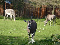 Антилопы и зебра сернобыка Стоковые Фотографии RF