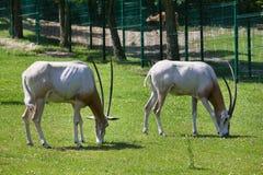 2 антилопы на зоопарке Стоковые Изображения