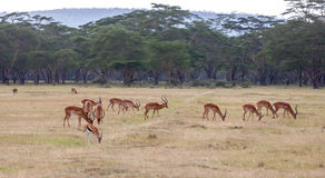 Антилопы на предпосылке травы Стоковое Фото