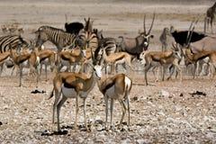 Антилопы на waterhole Стоковое Изображение