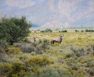 Антилопы сернобыка на южно-африканском кусте Стоковое Фото