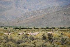Антилопы сернобыка на южно-африканском кусте Стоковое Изображение RF