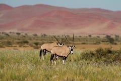 2 антилопы сернобыка на Sossusvlei Стоковая Фотография RF
