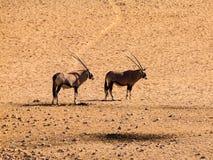 2 антилопы сернобыка Стоковые Изображения RF