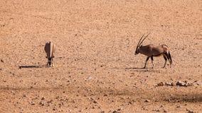 2 антилопы сернобыка Стоковые Изображения