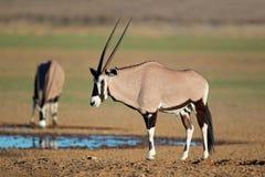 Антилопы сернобыка Стоковое Изображение RF